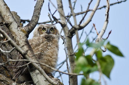 owlet: Young Owlet Scanning Across the Tree Tops