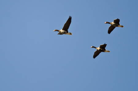 speckle: Three Greater White-Fronted Geese Flying in a Blue Sky