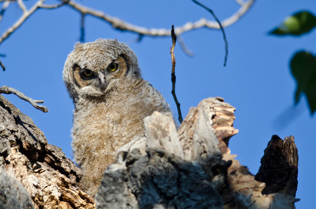 eye contact: Young Owlet Making Direct Eye Contact From Its Nest