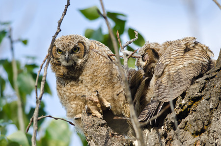 peering: Young Owlet Peering in the Distance with Claw Extended