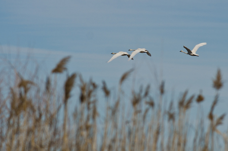 tundra swan: Flock of Tundra Swans Flying Across the Marsh Stock Photo