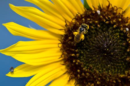 girasol: Abeja que recolecta el polen de oro de un girasol amarillo Foto de archivo