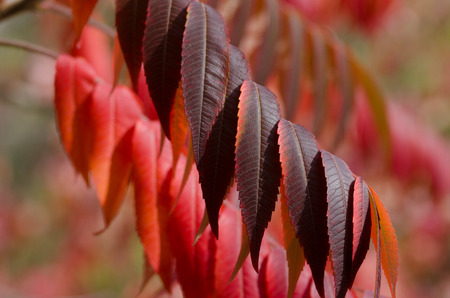 Crimson Leaves of Autumn Banco de Imagens