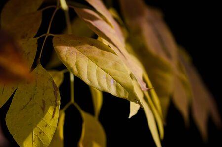 golden: Golden Leaves of Autumn