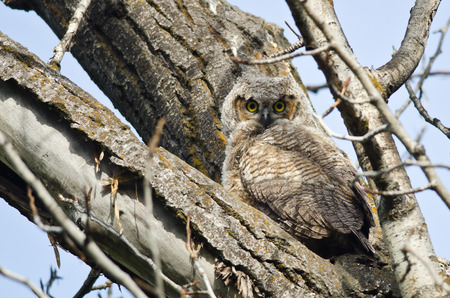 owlet: Young Owlet Making Direct Eye Contact with You Stock Photo