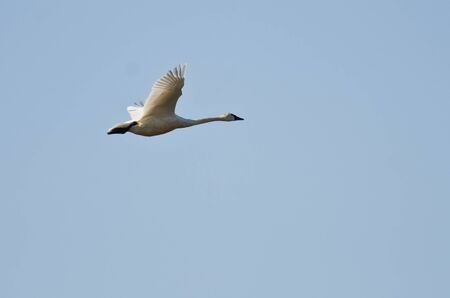 tundra swan: Tundra Swan Flying in a Blue sky