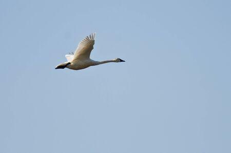 Tundra Swan Flying in a Blue sky