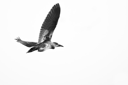 immature: Immature Black-Crowned Night Heron Flying on a White Background Stock Photo