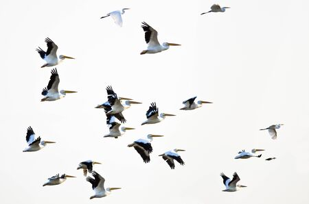 pelicans: Flock of American White Pelicans Flying on a White Background