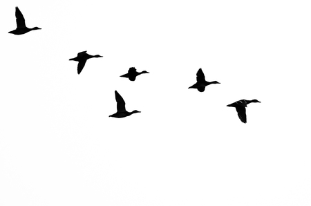 Flock of Ducks Silhouetted on a White Background Stock Photo - 46342555