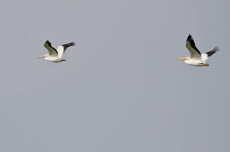 pelicans: Two American White Pelicans Flying in a Blue Sky