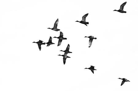 Troep van Eenden vliegen op een witte achtergrond Stockfoto