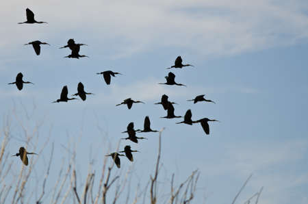 ibis: Flock of White-Faced Ibis Flying Low Over the Marsh