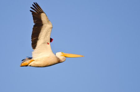 banding: American White Pelican Showing Its Banding Tag Flying in a Blue Sky