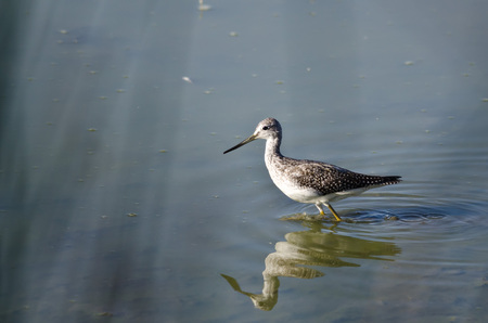 shallow: Greater Yellowlegs Hunting in the Shallow Water Stock Photo