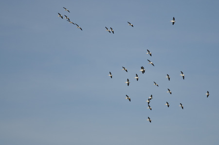 pelicans: Flock of American White Pelicans Flying in a Blue Sky