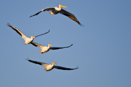 pelicans: Four American White Pelicans Flying in a Blue Sky