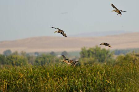 mallard duck: Mallard Ducks Landing in the Marsh Stock Photo