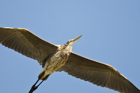 gray herons: Great Blue Heron Flying in a Blue Sky