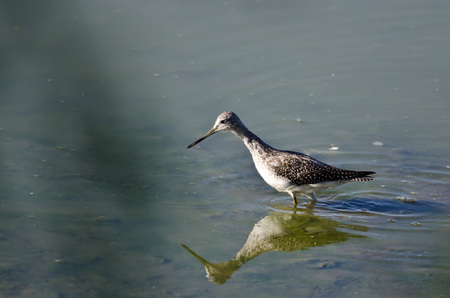 shallow water: Greater Yellowlegs Hunting in the Shallow Water Stock Photo