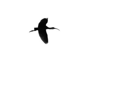 ibis: Single White-Faced Ibis Silhouetted on a White Background