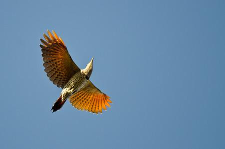 tremolare: Northern Flicker Flying in a Blue Sky Archivio Fotografico