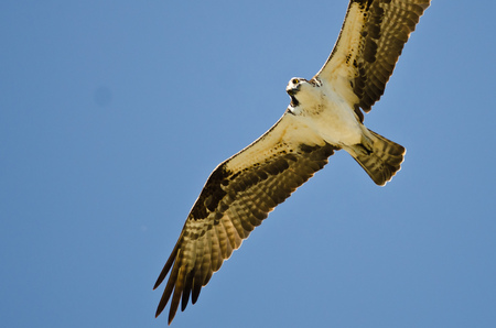 eye contact: Osprey Making Eye Contact While Hunting on the Wing in a Blue Sky