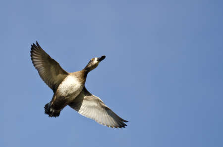 white necked: Female Ring-Necked Duck Flying in a Blue Sky