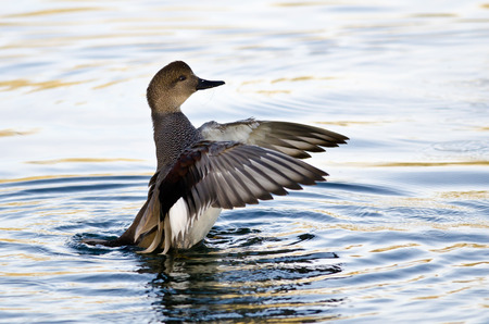 water wings: Gadwall Stretching Its Wings on the Water Stock Photo
