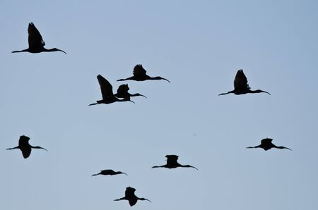 ibis: Flock of Silhouetted White-Faced Ibis Flying in a Blue Sky Stock Photo