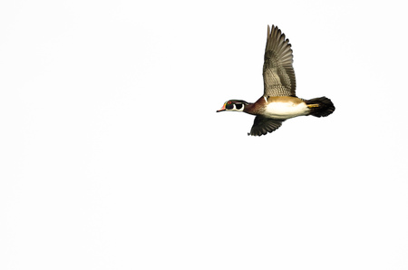 crested duck: Male Wood Duck Flying Against a White Background