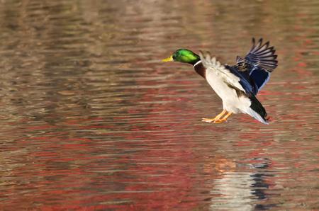 mallard duck: Mallard Duck Landing on the Autumn Pond