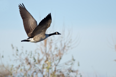 canada goose: Canada Goose Flying Low Over the Autumn Pond