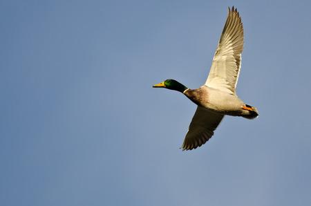 mallard duck: Male Mallard Duck Flying in a Blue Sky