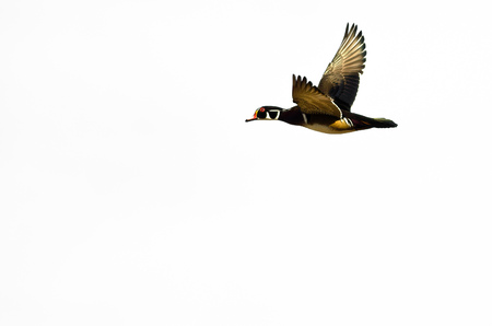 crested duck: Male Wood Duck Flying on a White Background Stock Photo