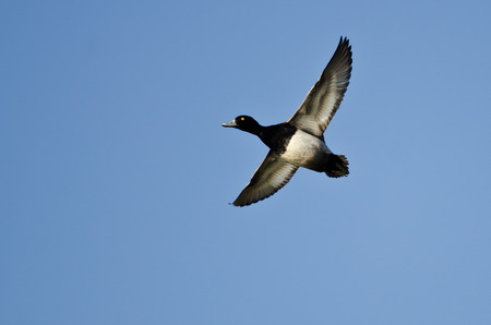 scaup: Male Lesser Scaup Flying in a Blue Sky