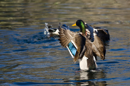 water wings: Mallard Duck Stretching Its Wings on the Water Stock Photo