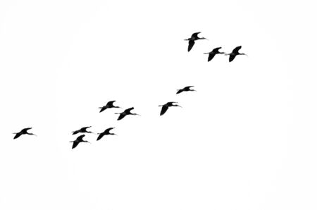 ibis: Flock of White-Faced Ibis Flying on a White Background