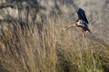 Female Mallard Duck Coming in for a Landing in the Marsh