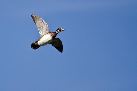 crested duck: Male Wood Duck Flying in a Blue Sky