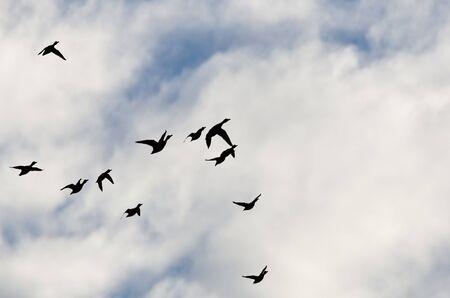 bandada pajaros: Multitud de los patos se perfilan en un cielo nublado como vuelan Foto de archivo