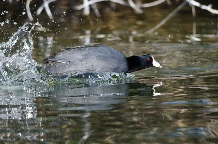 coot: American Coot on the Attack Stock Photo