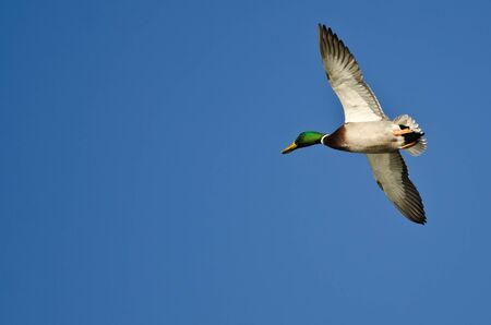 Male Mallard Duck Flying in a Blue Sky