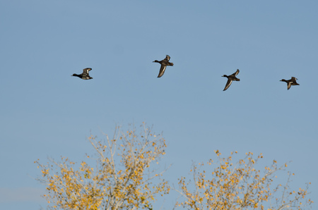 scaup: Small Flock of Ducks Flying Low Over the Tree Tops