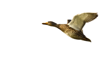 Mallard Duck Flying on a White Background