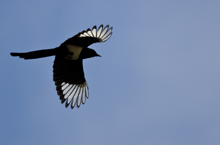 Black-billed Magpie With Its Wings Lit Up in the Bright Sunlight