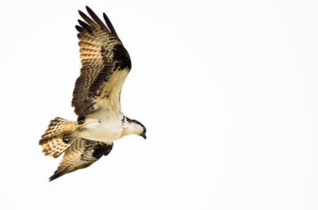 osprey bird: Lone Osprey Hunting on the Wing on a White Background Stock Photo