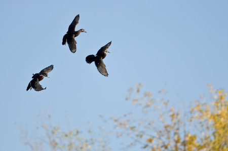 crested duck: Three Wood Ducks Flying in a Blue Sky Stock Photo