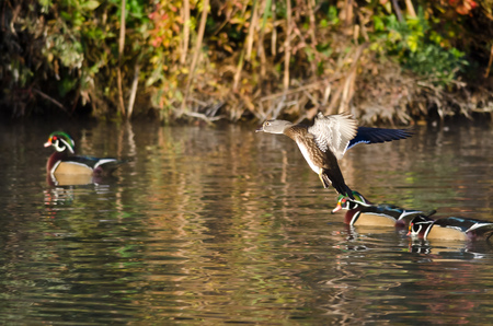 crested duck: Wood Duck Coming in for a Landing on the Water