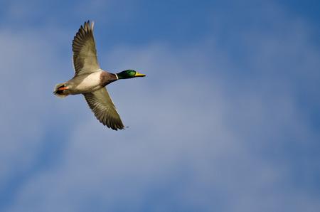 mallard duck: Mallard Duck Flying in a Cloudy Blue Sky Stock Photo